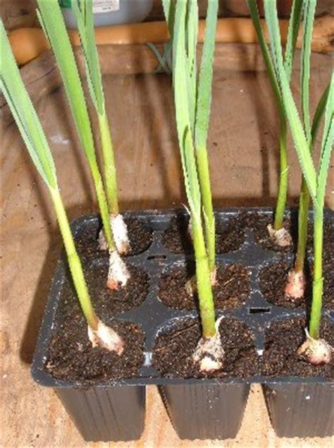 coltivare aglio in vaso le dimensioni dei vasi per coltivare ortaggi 1 l orto