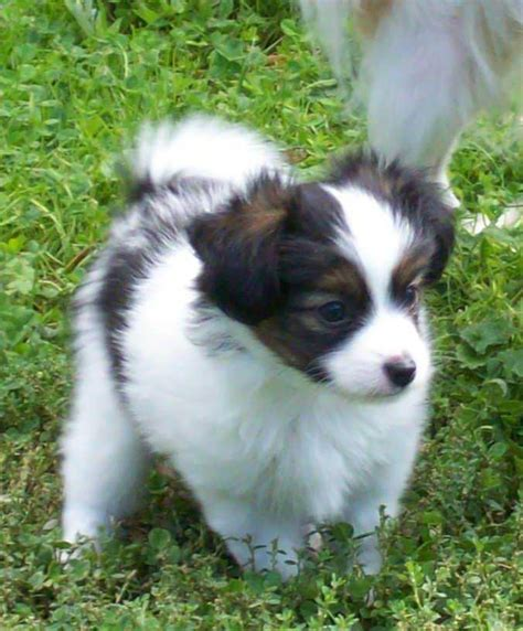 pictures of papillon puppies papillon breed pictures information temperament characteristics animals breeds
