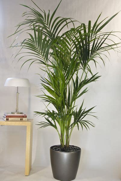 indoor plants online kentia palm from houston interior plants living room