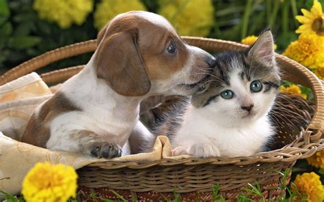 puppies and kittens together puppy and kitten wallpapers and images wallpapers pictures photos