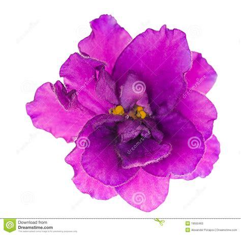 imagenes de flores llamadas violetas sola flor violeta aislada de la lila brillante fotos de