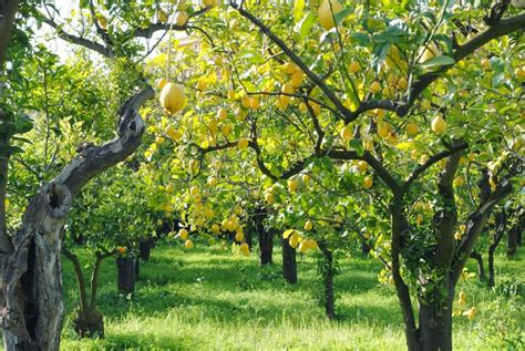 albero di limone in vaso limone un agrume molto utile per la salute la bellezza