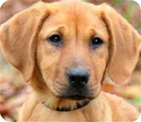 golden retriever rescue ri wow beautiful puppy adopted puppy wakefield ri golden retriever