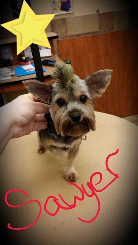 mohawk style for yorkie 17 best images about yorki on pinterest willie nelson