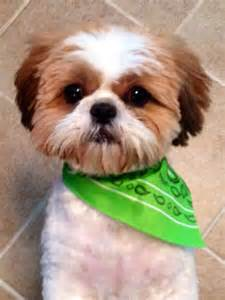 shih tzu haircuts my shih tzu baby with his summer cut pictures and quotes pinterest