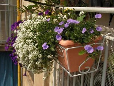 cura roselline in vaso fioriere da balcone paperblog