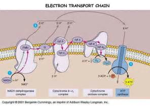 why is the electron transport chain like a battery