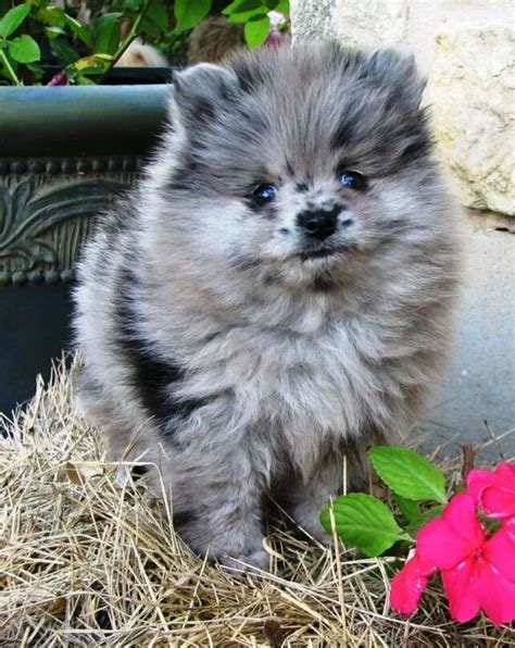 where did pomeranians originate 25 best ideas about pomeranian dogs on pomeranian puppy pomeranians and