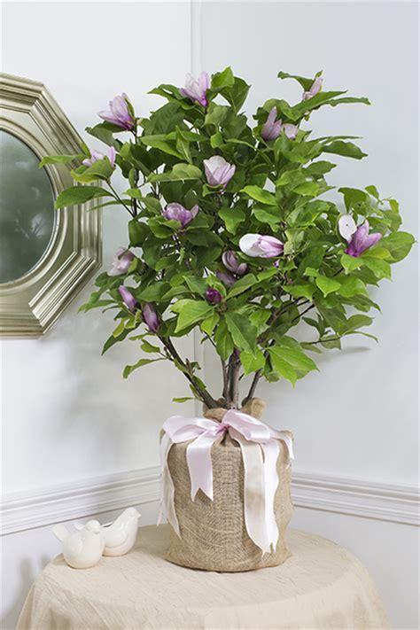 Pet Sympathy Magnolia Ann Tree   Large: Seeds Of Life