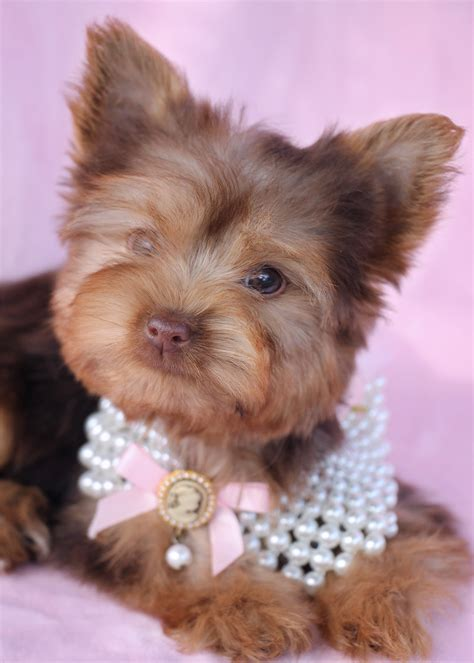 yorkie breeders in south florida gorgeous teacup quot yorkie quot terrier puppies for sale teacups puppies boutique