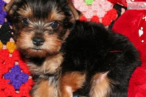 yorkie puppies for adoption in chicago best 25 yorkie puppies for adoption ideas on