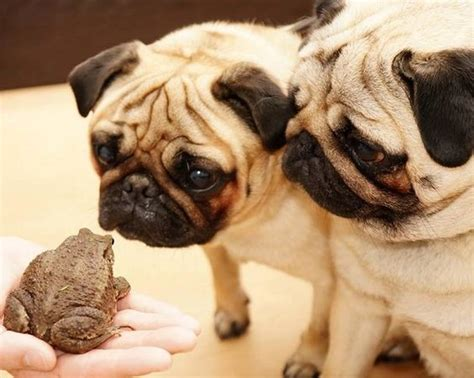 can pugs eat popcorn pugs and a toad lol pugs animal friends we worth it and the o jays