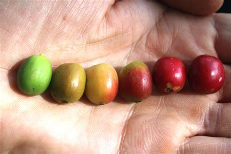 colored cherries umami kaffee c colored cherries missclaire