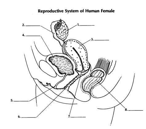 diagram of reproductive system blank reproductive system diagram human