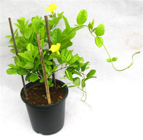 buy climber plants allamanda creeper  plantsworldin