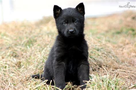 german pinscher puppies for sale german pinscher puppy for sale near lancaster pennsylvania e44db096 24c1