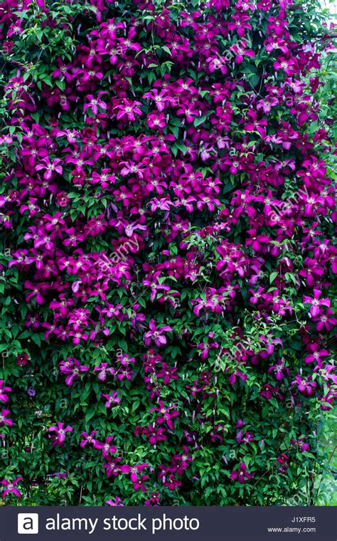 Clematis Viticella Rubra 4179 by Clematis Viticella Rubra Stock Photos Clematis Viticella