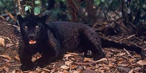 imagenes de un jaguar negro la pantera negra no existe biostreet