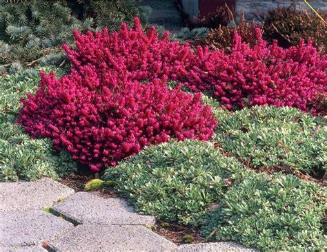 fiori di erica erica pianta piante perenni fiore erica