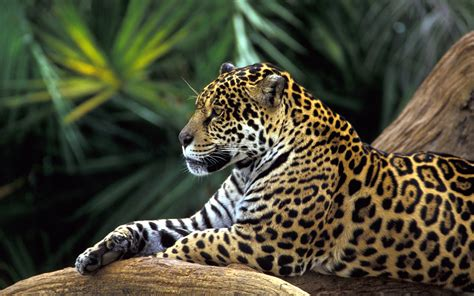 What Part Of The Rainforest Do Jaguars Live In Uncategorized Biodiversity Conservation Page 2