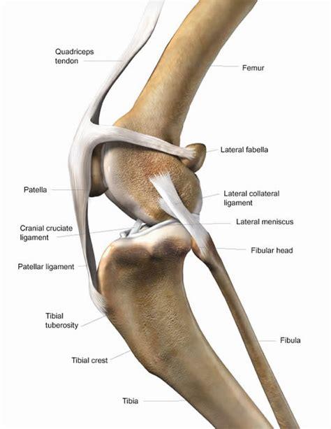 cruciate ligament tear sesamoid injury images