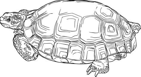 desert turtle coloring page turtoise clipart desert animal pencil and in color