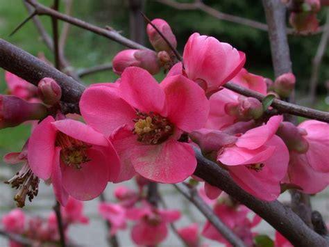 cotogno da fiore chaenomeles japonica cotogno da fiore natura nel mondo