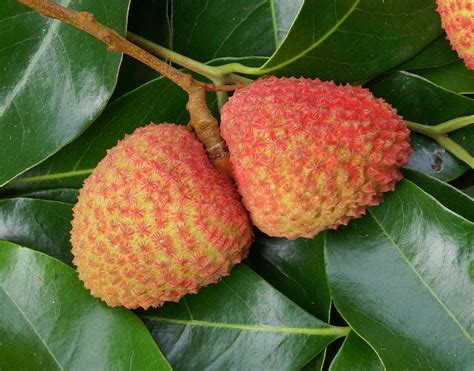 lychee fruit lychee or litchi fruit linchi in thai thailand grande