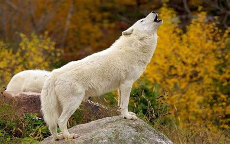 white wolf white wolf pictures hd hd pictures
