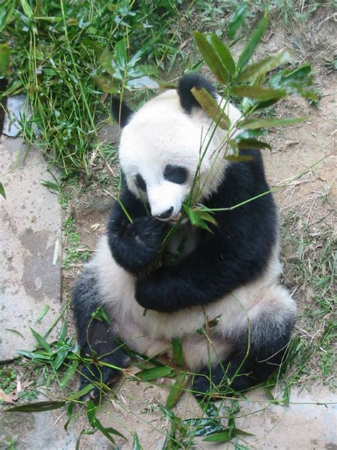 Panda Gabut gro 223 er panda pandab 228 r medienwerkstatt wissen 169 2006