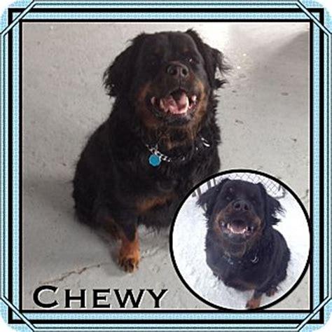 newfoundland rottweiler mix manchester ct newfoundland rottweiler mix meet chewy in ct a for adoption