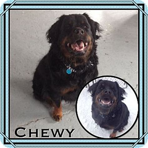newfoundland rottweiler mix puppies manchester ct newfoundland rottweiler mix meet chewy in ct a for adoption
