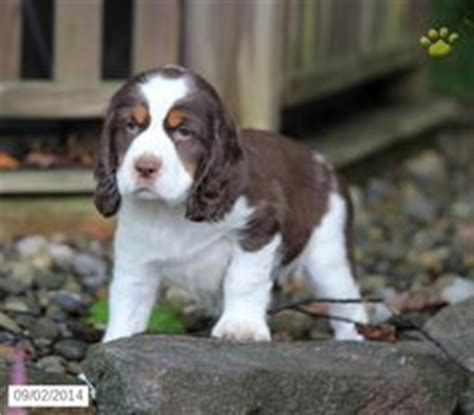 springer spaniel puppies for sale in pa 1000 images about springer spaniel on springer spaniels