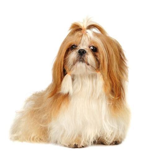 Top 10 Kleine Hondenrassen (Foto & Beschrijving ...