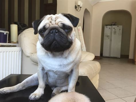 pug lord lord alfie my pug is looking for a new loving home hull