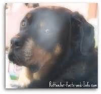 real rottweiler rescue rottweiler facts and information from a real owner s perspective