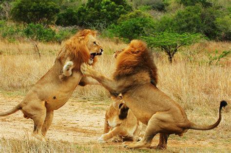 animals fighting lion vs lion wild animal fights best wild animal attacks