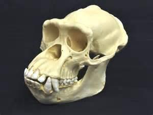 woc common chimpanzee