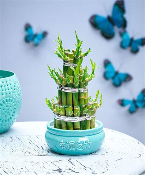 bambu in vaso acquista lucky bamboo in vaso bakker