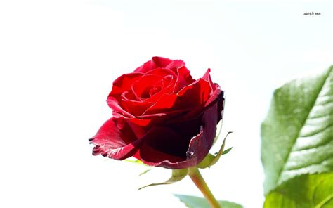 wallpaper flower red rose single red rose flowers flower hd wallpapers images
