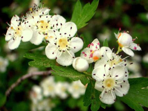 imagenes espino blanco espino blanco espino albar o majuelo