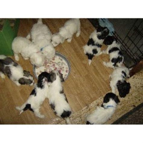 free puppies in ri judith keogh bichon frise breeder in johnston rhode island