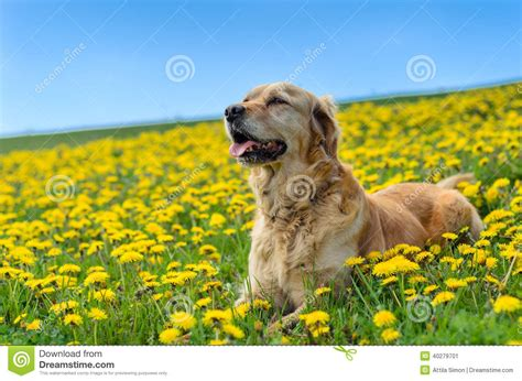 golden meadow retrievers golden retriever dandelion meadow stock photo image 40279701