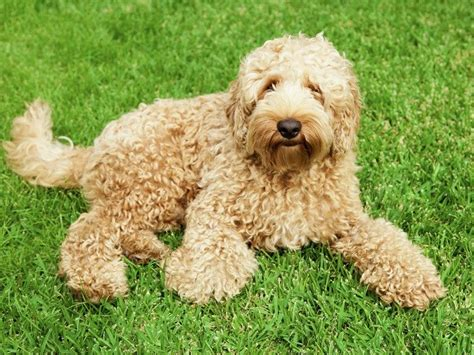goldendoodle puppy washington goldendoodle breeders in washington freedoglistings