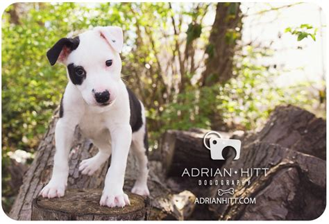 at sight puppy and kitten adoption center american bulldog border collie puppy 187 photographer adrian hitt commercial pet