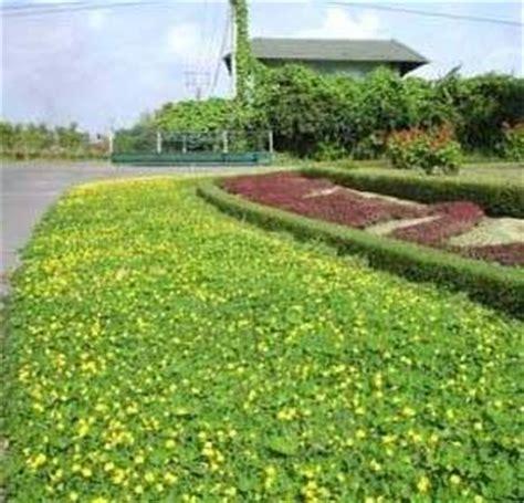 dinomarket pasardino tanaman hias landepkacang