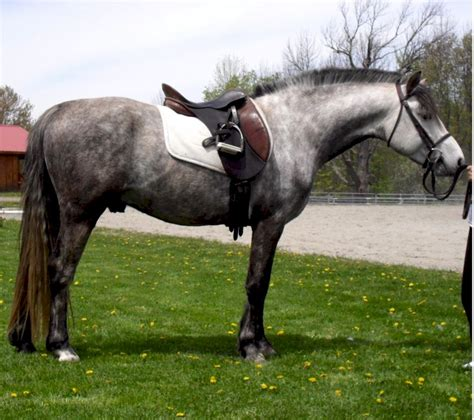 section a welsh ponies for sale crosscreek welsh and casmaran welsh cobs