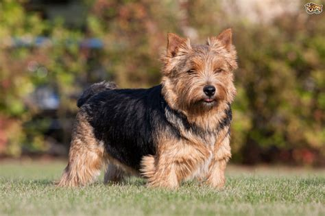 norwich terrier puppy norwich terrier breed information buying advice photos and facts pets4homes