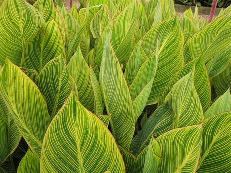 online plant guide canna bengal tiger bengal tiger canna