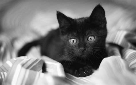 black kitten wallpaper black and white cat wallpapers wallpaper cave